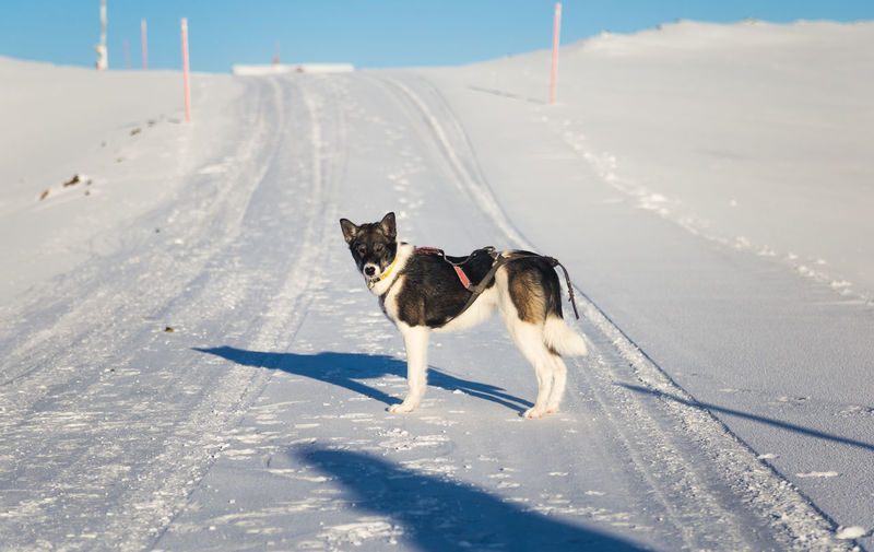 Beautiful alaskan husky dog enjoying a sunny day in winter. Sled dogs in Norway winter. Winter Snow Cold Temperature Nature Dog Sled Dog Animal Ride Pull Team