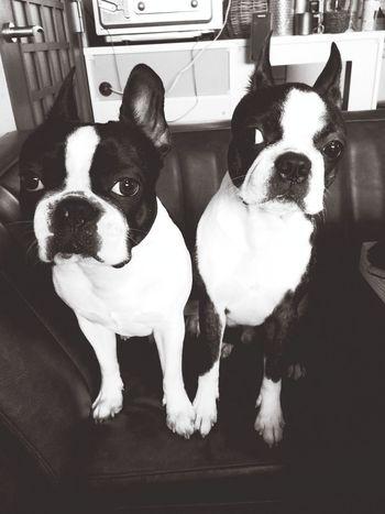 プーチンとナナホシ Boston Terrier ボストンテリア Bostonterrier Ilovemydog Dog