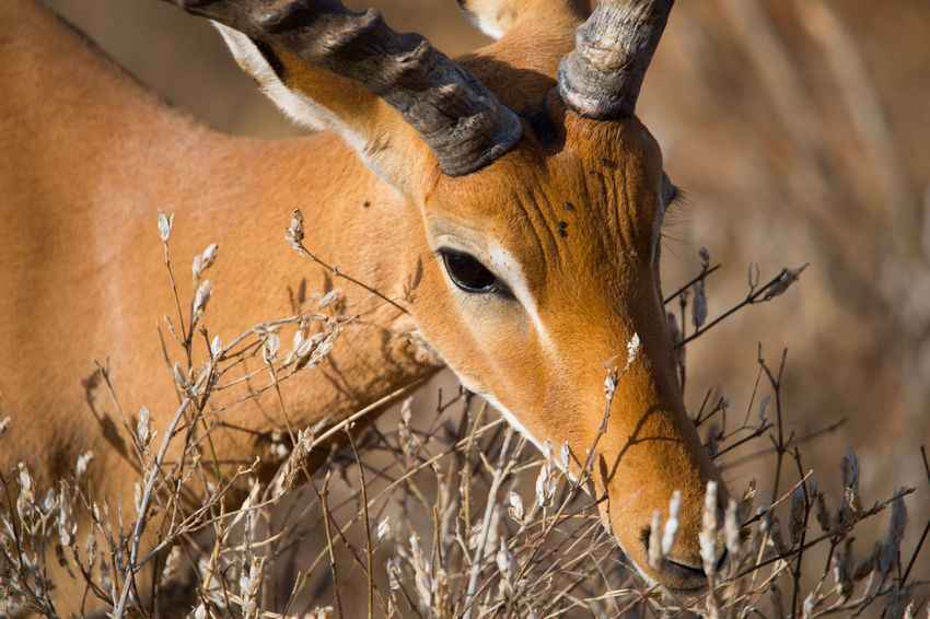 Gazelle Africa African Animal Animal Body Part Animal Head  Animal Themes Animals Brown Close-up Day Field Focus On Foreground Gaz Kenya Mammal Nature Nature No People Outdoors Selective Focus Wildlife The Great Outdoors - 2016 EyeEm Awards