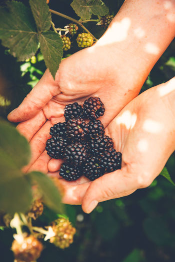 Cropped image of hands holding blackberries