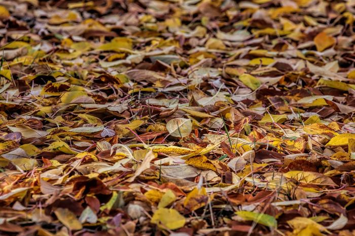 Apple leaves carpet the ground Apple Leaves Abundance Autumn Backgrounds Beauty In Nature Change Close-up Day Dry Fallen Fragility Full Frame Large Group Of Objects Leaf Leaves Maple Nature No People Outdoors