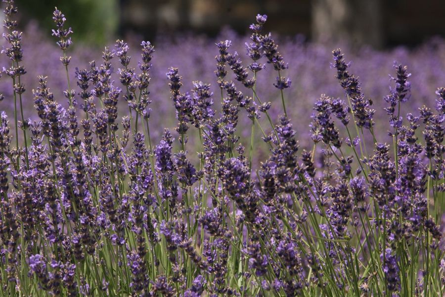 Lavender Field Lavenderflower Lavender Flower Flowering Plant Beauty In Nature