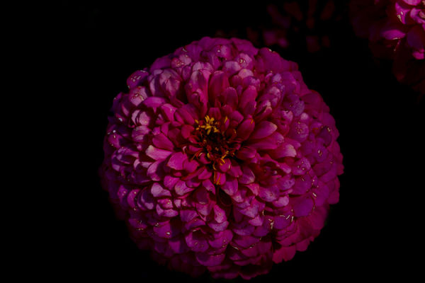 Beauty In Nature Black Background Blooming Close-up Dahlia Day Flower Flower Head Fragility Freshness Nature No People Outdoors Petal Pink Color Zinnia
