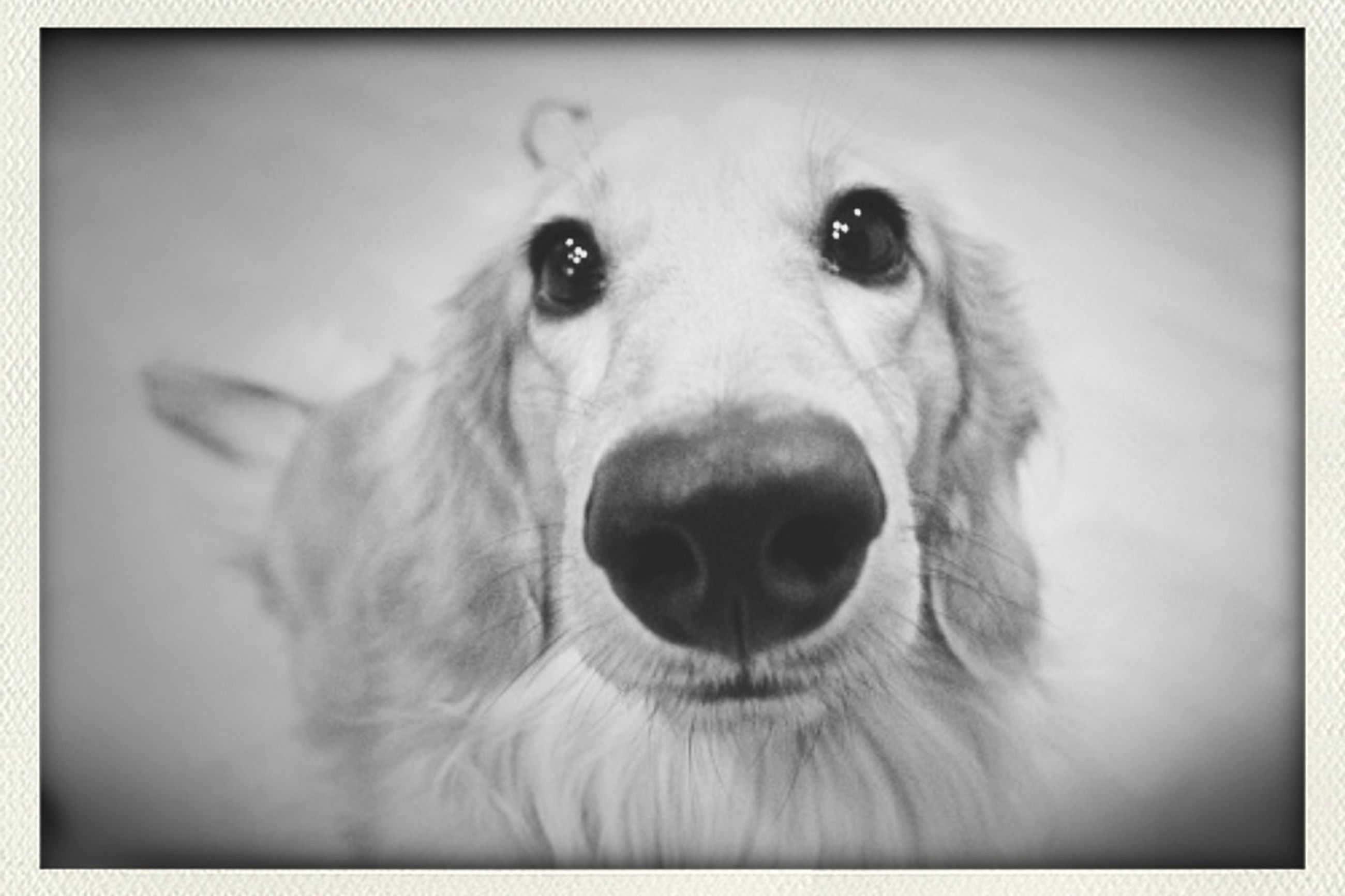 one animal, portrait, dog, close-up, pets, looking at camera, animal themes, domestic animals, indoors, animal head, auto post production filter, transfer print, animal body part, mammal, front view, animal eye, part of, snout, studio shot, animal hair