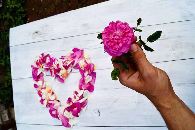 Close-up of hand holding pink rose flower
