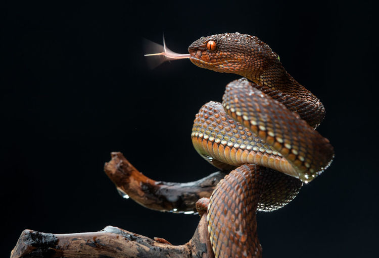 Close-up of red viper snake