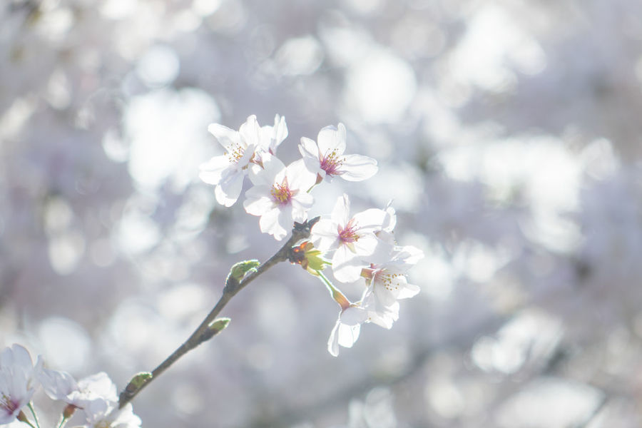Beauty In Nature Blooming Blossom Branch Cherry Blossom Cherry Tree Close-up Flower Flower Head Focus On Foreground Fragility Freshness Growth In Bloom Nature Petal Springtime Tree Twig White Color Ultimate Japan