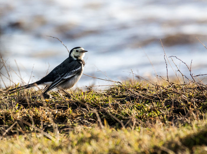 Animal Themes Animal Wildlife Animals In The Wild Bird Close-up Day Field Grass Nature No People One Animal Outdoors Perching Pied Wagtail Plant Plumage