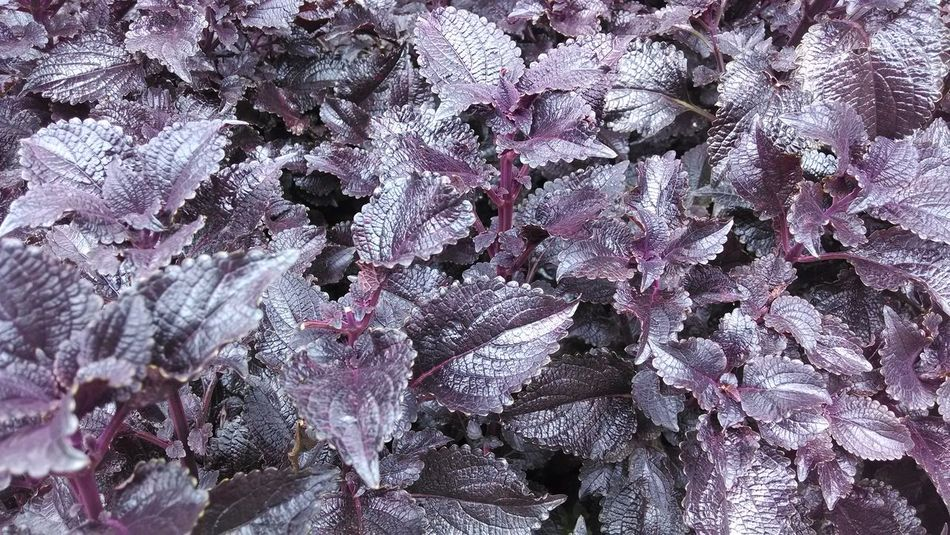 Beauty In Nature Coleus Full Frame Nature Outdoors Pink Color Plants And Flowers Purple