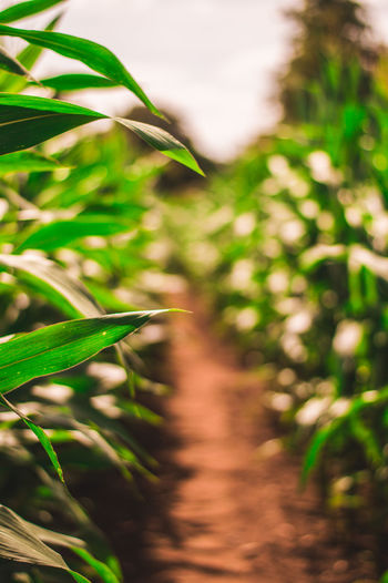 Path though maze field - focused on foreground Field Maze Agriculture Beauty In Nature Bokeh Close-up Crop  Day Field Focus On Foreground Green Color Growth Land Leaf Nature No People Outdoors Plant Plant Part Plantation Selective Focus Summer Sunlight Tranquility Tree