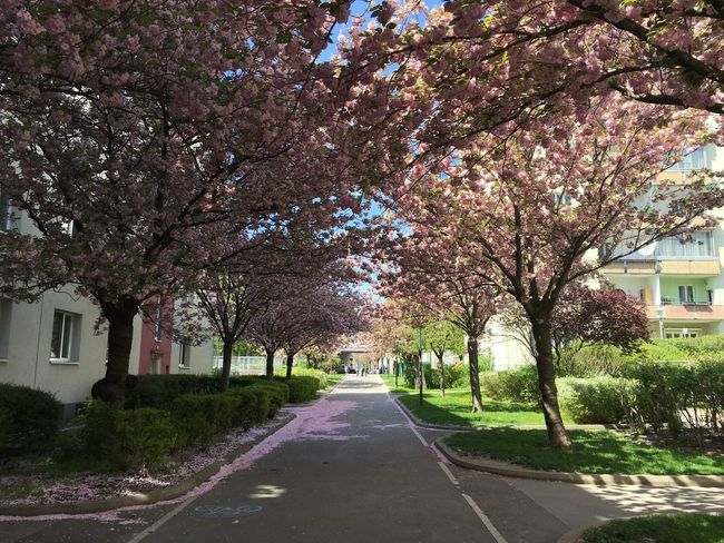 Cherry trees in Vienna, Austria Architecture Beauty In Nature Blossom Branch Building Exterior Built Structure Cherry Tree City Dance Day Flower Fragility Freshness Growth Nature No People Outdoors Road Sky Springtime The Way Forward Tree
