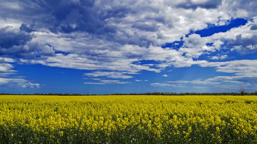 Agriculture Beauty In Nature Blue Cloud - Sky Crop  Day Field Flower Fragility Freshness Growth Landscape Mustard Plant Nature No People Oilseed Rape Outdoors Rural Scene Scenics Sky Tranquil Scene Tranquility Yellow