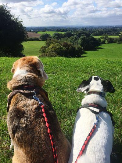 Gertie & Ernie survey their territory Domestic Animals Dog Worcestershire