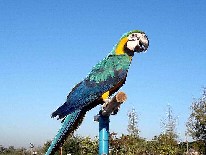gold and blue macaw enjoys morning bright blue sky Animal Themes Animal Wildlife Animals In The Wild Bird Blue Clear Sky Copy Space Day Gold And Blue Macaw Gold And Blue Macaw In Bright Blue Sky Low Angle View Macaw Multi Colored Nature No People One Animal Outdoors Parrot Perching Sky Tree