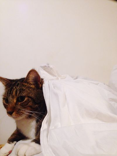 Cat Covered With White Blanket Against White Background
