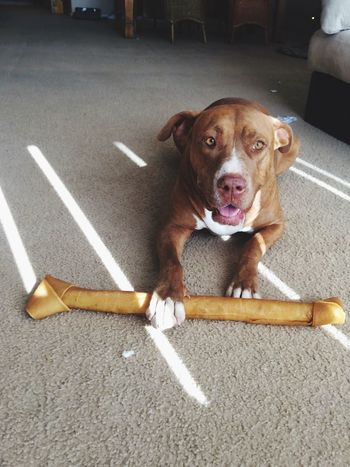 It's All Mine! Ha Pitbull Dog Rescuedog Mutt Happiness Happy Dog Dog With A Bone Rawhide Sunlight