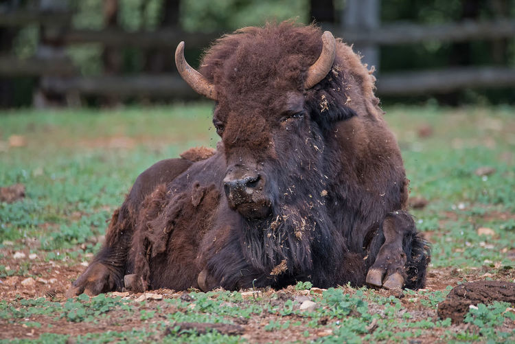 Bison Animal Themes Animal Wildlife Animals In The Wild Bison, Buffalo, Blackbirds, Wyoming, Wild, Animal, Horns, Fur, Raw, Close-up Day Domestic Animals Field Focus On Foreground Grass Livestock Mammal Nature No People One Animal Outdoors