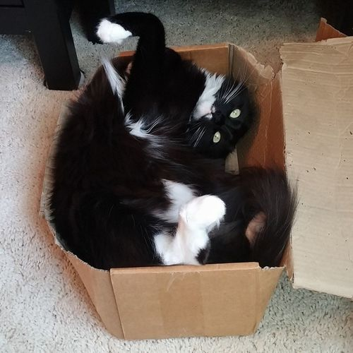 Boo's favorite pastime ContortionistCat SundayFunday Catinabox