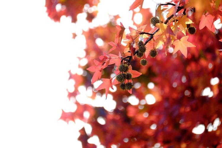あきいろ:RED Leaf Nature Light And Shadow Taking Photos Red Japan アメリカ楓 Kitakyushu Beauty In Nature Fukuoka EyeEm Best Shots EyeEm Gallery Autumn Collection FUJIFILM X-T1 Fujifilm_xseries