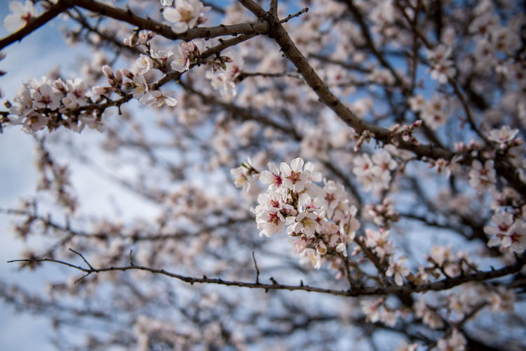 Flowering Plant Plant Flower Freshness Fragility Tree Blossom Cherry Blossom Growth Branch Nature Springtime Cherry Tree No People Outdoors Almond Tree Almond Blossom Blooming Vulnerability  Beauty In Nature Low Angle View Focus On Foreground Day Twig Close-up Flower Head