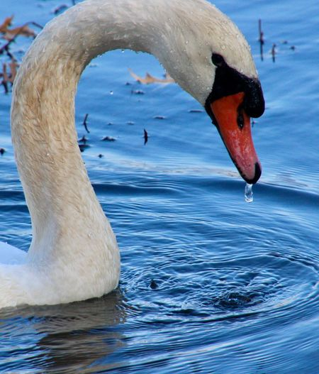 Swan close up after the plunge.... dripping water ripples birds of EyeEm beauty in nature animal themes outdoors Animal Wildlife Bird Water One Animal No People