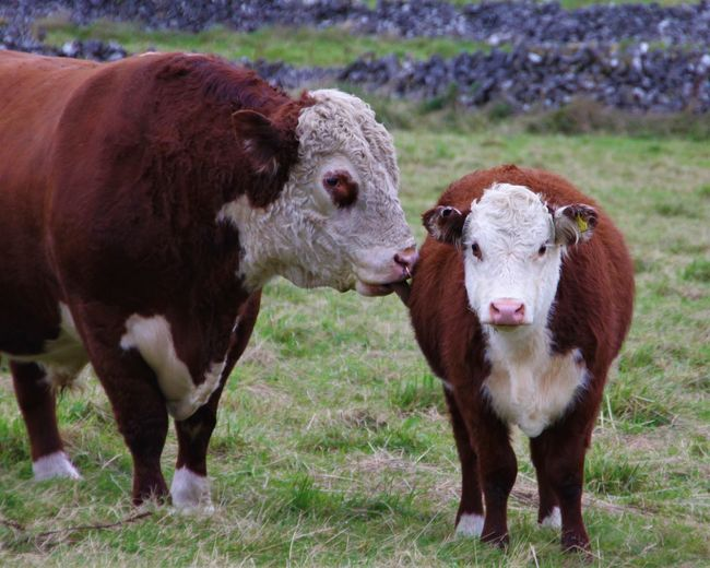 father and son RedBull Red Bull Dad Dad And Son Dad And Daughter Kiss Lick Animal Themes Close-up Cow Day Domestic Animals Field Grass Livestock Mammal Nature No People Outdoors Rural Scene Son Standing Hereford Bull Portrait Domestic Cattle Tranquility This Is Masculinity