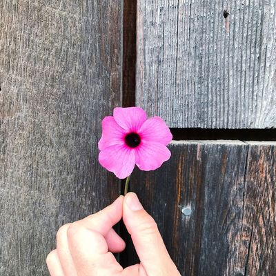Reclaimed Wood Thunbergia Human Body Part Real People Human Hand Flower Flowering Plant One Person Pink Color