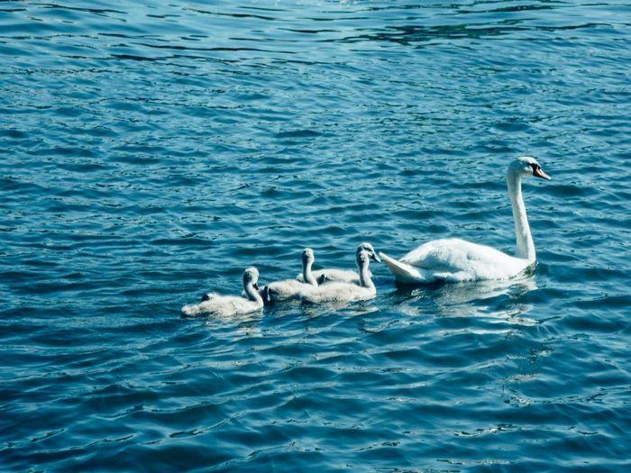Swans family Swan Swans Swans ❤ Swan Lake Swans On The Lake Swantastic Swansea Swan Family Swan Series Swans Swimming Swans Swiming