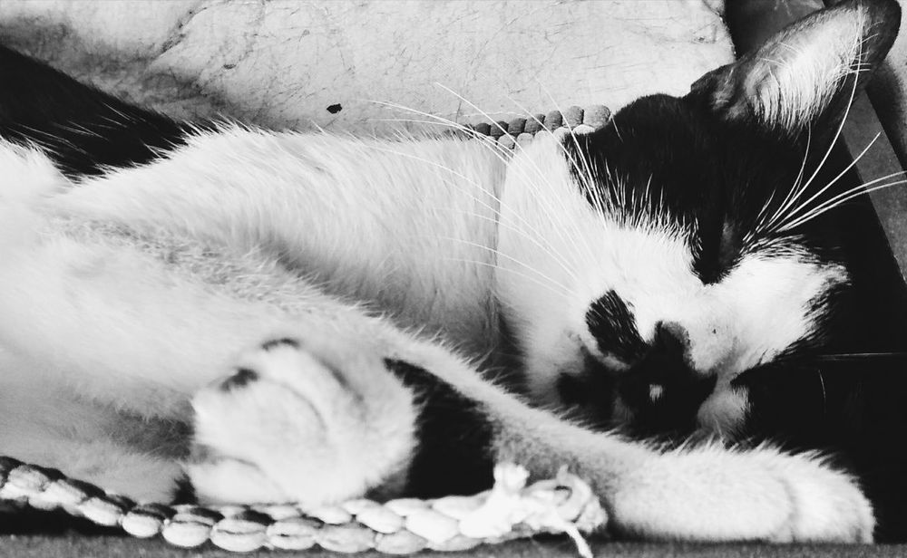 Animal Themes One Animal Pets Feline Cat Cat♡ Cat Lovers Cats Of EyeEm Blackandwhite Black And White Black & White Relaxing Blackandwhite Photography Animals Domestic Animals
