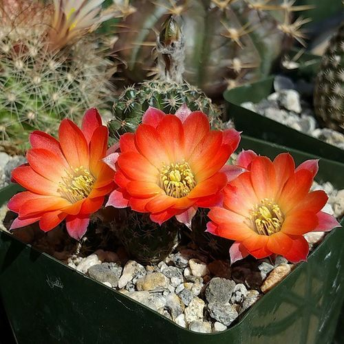 Medilobivia pygmaea Cactus Flower 🌅🌺🌵 Succulent Succulents_only Succulove Mygarden Plant_addiction Plantlife Plantsforsale WorldWidePlants