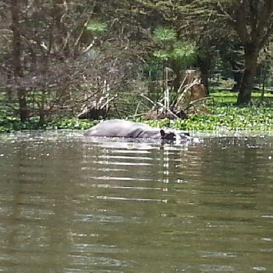 Flodhäst Afrika B äst Varmt  Vatten läskigt