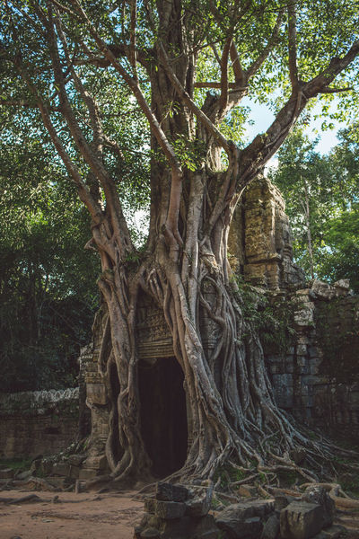 Siem Reap Cambodia Angkor Tree Plant Growth Tree Trunk Trunk Nature Day No People Root Architecture Branch Land Forest Plant Part Built Structure Outdoors Tranquility History Large Travel