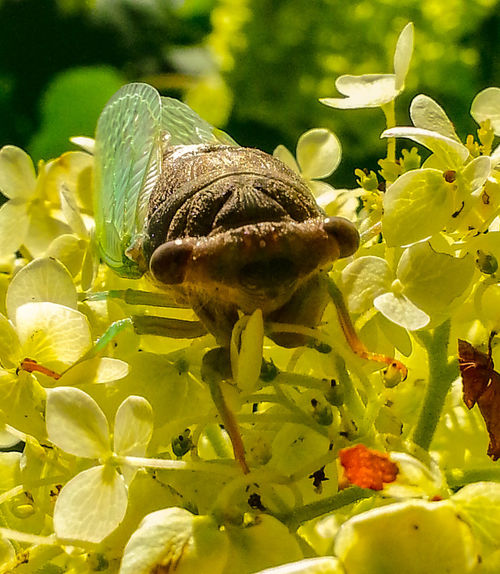 Cicada atop some flowers on a sunny day 2 Cicada Green Wings Brown Black Cicada Face Close-up Leaf Insect Flower Close-up Animal Themes Plant Green Color