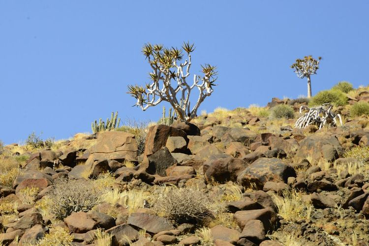 Quiver tree in the Namib Desert, Namibia Namib Desert Namibia Namibia Landscape Arid Climate Beauty In Nature Blue Clear Sky Day Desert Landscape Namib Nature No People Outdoors Quiver Quivertree  Rock - Object Tranquil Scene Tranquility Tree