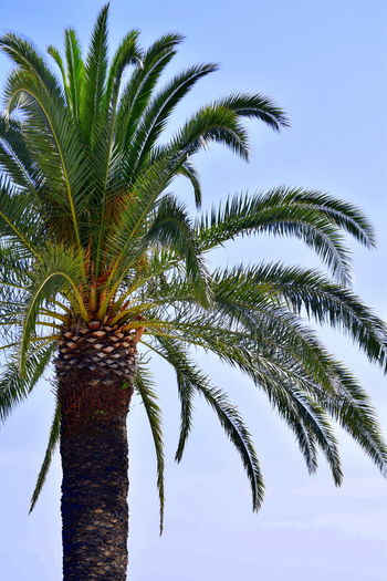 Clear Sky Day Low Angle View Nature No People Outdoors Palm Leaf Palm Tree Sky Tranquility Tree Tree Trunk