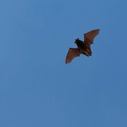 Bat Sky Animal