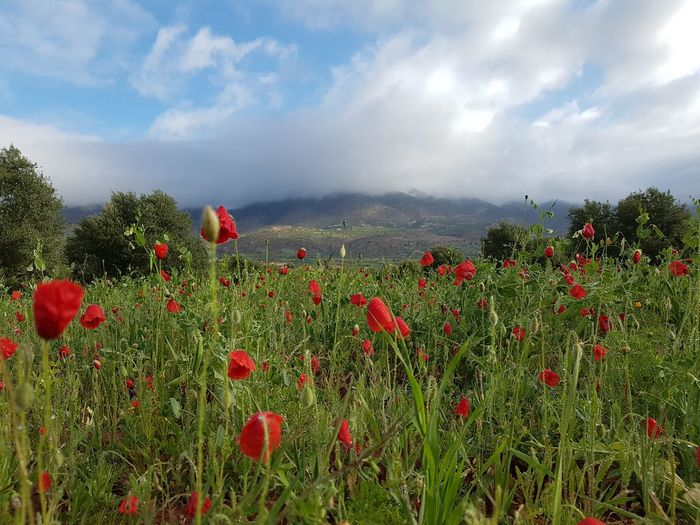 Flower Red Poppy Flowerbed Social Issues Nature Growth Panoramic Plant Cloud - Sky Uncultivated Sky Wildflower Multi Colored Freshness Summer Beauty In Nature Environmental Conservation Outdoors Morocco