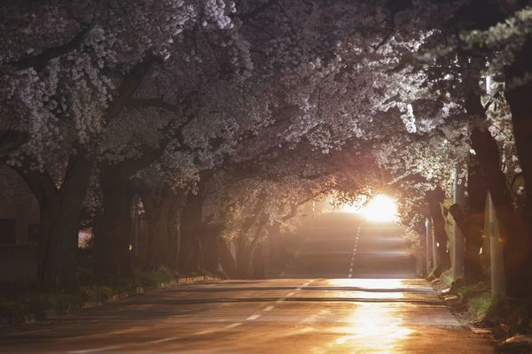 Road Cherry Blossoms Tree Plant Road Nature Direction The Way Forward Transportation Growth