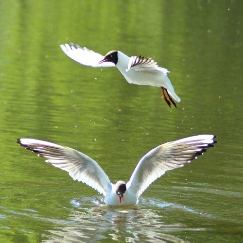 Dancing Feather  Beak Water Bird Landing - Touching Down Freshwater Bird Fanned Out