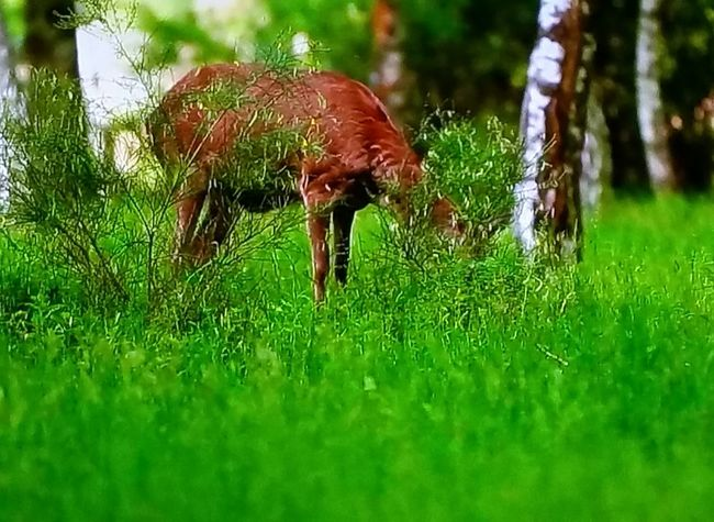 Animal Themes Grass Nature One Animal Green Color No People Outdoors Day Animals In The Wild Beauty In Nature Nature Tranquility Firsteyeemphoto☺ EyeEm Best Shots - Nature Photography Eyeemphoto Animals In The Wild Tranquil Scene Photo♡ Green Color Scenics Forest Paysage Beautiful✨ Biche