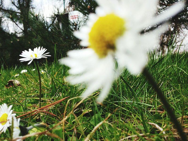 Daisy Flowers Nature
