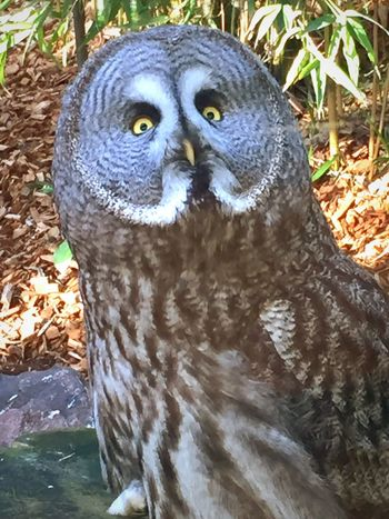 Great Grey Owl Animals Owl Bird Zoo Animals  Iphoneonly