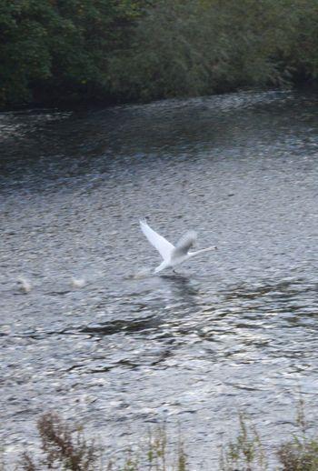 Swan taking off Swans