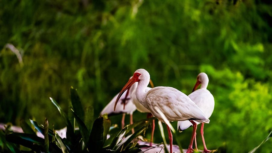 American white ibis birds perching plants