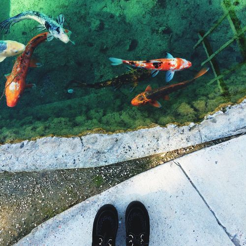 Low section of person standing in front of koi carps swimming in pond