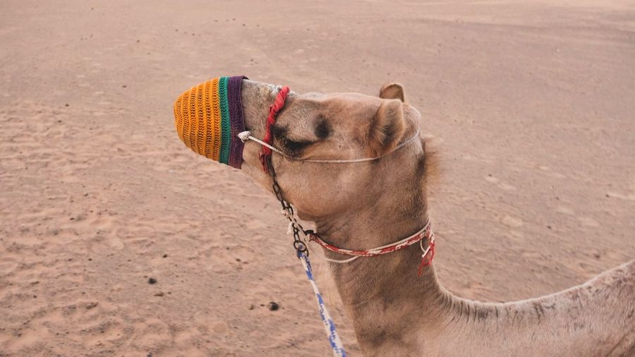 Close-Up Of Camel Wearing Muzzle At Desert