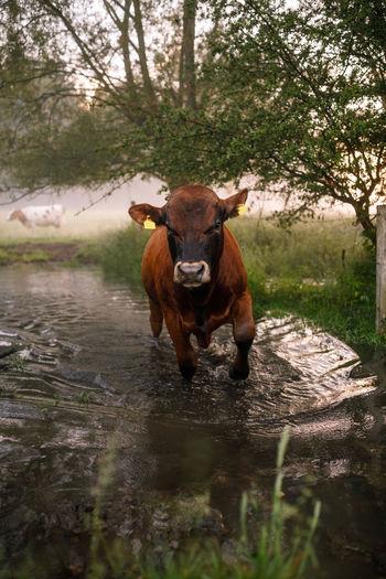 Portrait of a bull in a water