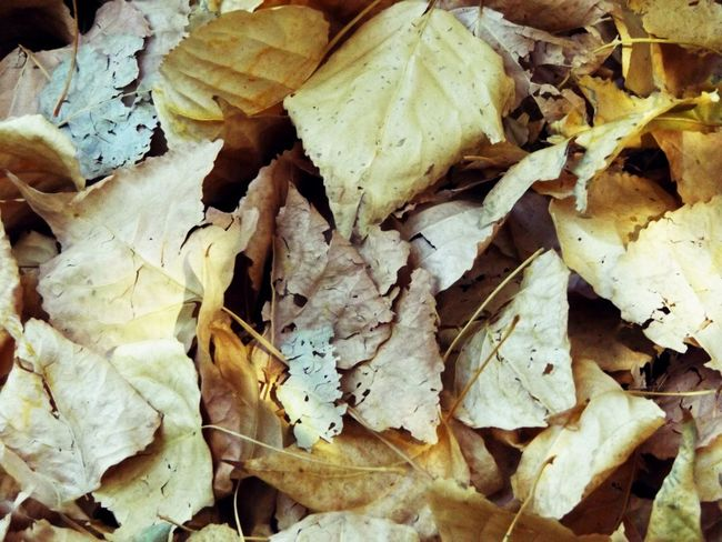 Abundance Autumn Autumn Leaves Backgrounds Botany Change Chopped Close-up Collection Day EyeEm Nature Lover Fragility Full Frame Heap Large Group Of Objects Leaf Leaf Vein Leaves Natural Condition Nature No People Outdoors Seasons