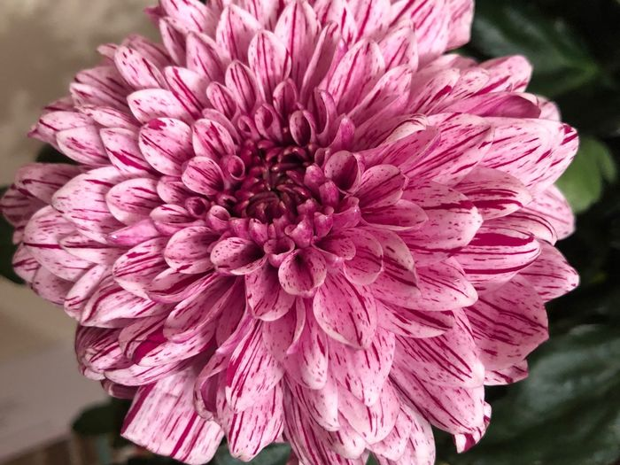 Flower head Flower Flowering Plant Pink Color Flower Head Inflorescence Petal Close-up Fragility Plant Freshness Vulnerability  Beauty In Nature Focus On Foreground Outdoors No People Day Nature