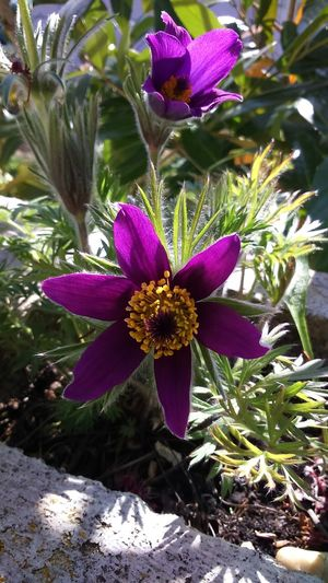 Pulsatilla Küchenschelle Pulsatilla Vulgaris Beauty In Nature Blooming Close-up Flower Plant Purple